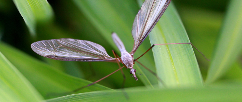 A European Crane Fly in the grass at a clients house in Spokane Valley, WA.