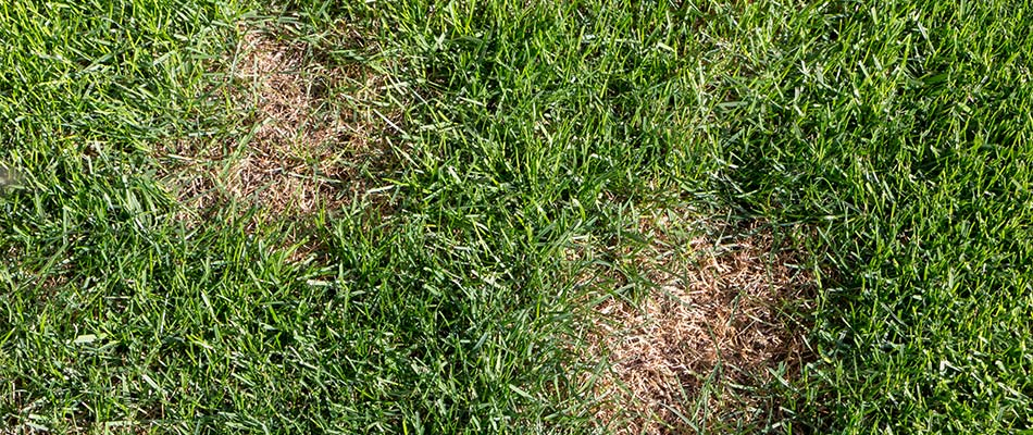 This grass in Spokane Valley has brown spots due to disease.