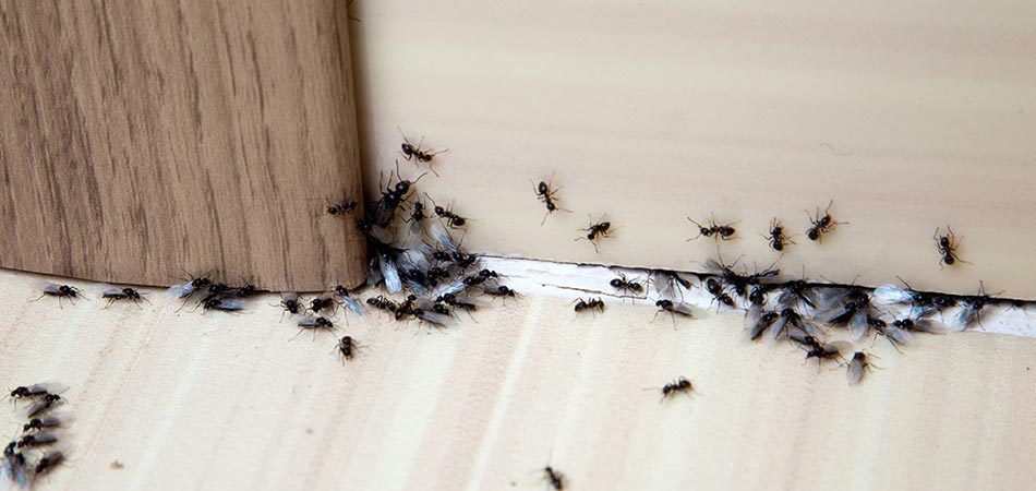 Infestations of ants have taken place in Spokane Valley.