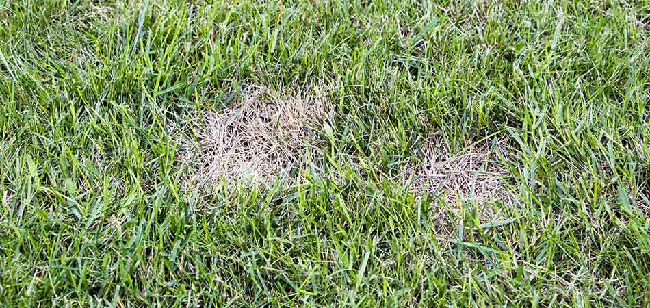 Fungal diseases are a common affliction to the lawns in Spokane.