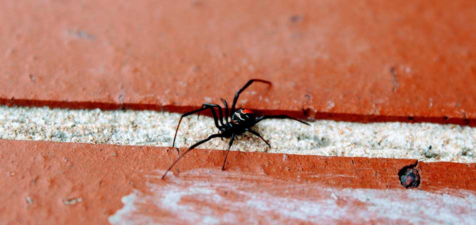 Black widow spiders are a dangerous pest that we deal with in Spokane.
