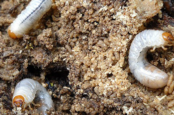 White grubs in Liberty Lake, WA lawn.
